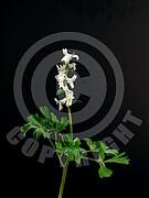 Corydalis cava (Hohle Lerchensporn)