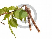 Corylus avellana (Gemeine Hasel)