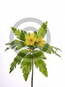 Anemone ranunculoides (Gelbe Windröschen)
