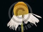 Matricaria recutita (Echte Kamille)