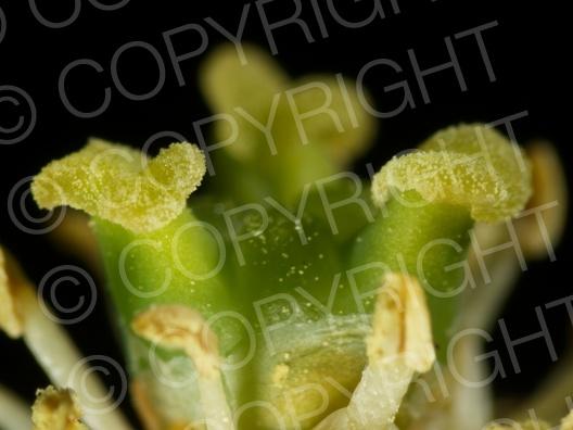 Buxus sempervirens (Gewöhnliche Buchsbaum)