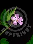 Geranium robertianum (Ruprechtskraut)