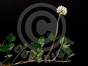 Trifolium repens (Weiß-Klee)