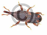 Sitophilus oryzae (Reiskäfer)