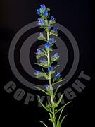 Echium vulgare (Gewöhnliche Natternkopf)