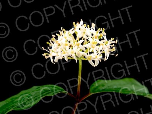 Cornus sanguinea (Rote Hartriegel)