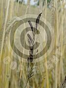 Claviceps purpurea (Mutterkornpilz)