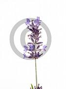 Lavandula angustifolia (Echte Lavendel)