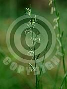 Lolium perenne (Deutsche Weidelgras)