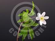 Anemone nemorosa (Buschwindröschen)