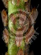 Acyrthosiphon pisum (Erbsenlaus)