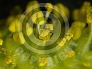 Salix alba (Silber-Weide)