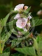 Althaea officinalis (Echte Eibisch)