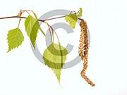 Betula pendula (Hänge-Birke)