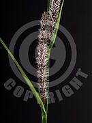 Carex flacca (Blaugrüne Segge)