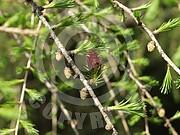 Larix decidua (Europäische Lärche)