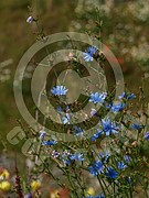 Cichorium intybus (Gewöhnliche Wegwarte)