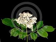 Sambucus nigra (Schwarze Holunder)