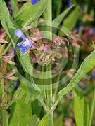 Salvia officinalis (Echte Salbei)