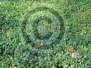 Vinca minor (Kleine Immergrün)