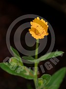 Calendula officinalis (Ringelblume)