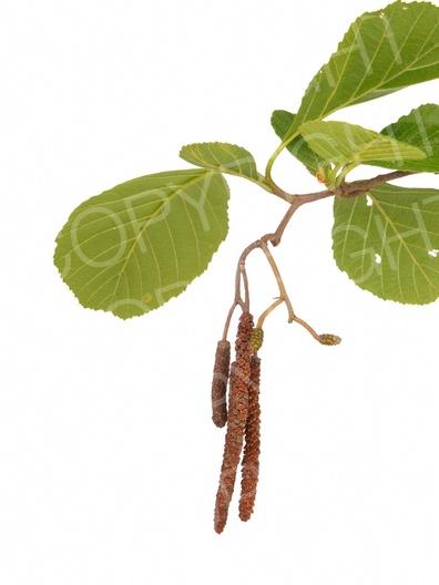 Alnus glutinosa (Schwarz-Erle)