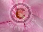 Nerium oleander (Oleander)