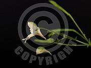 Impatiens parviflora (Kleine Springkraut)