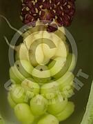 Arum maculatum (Gefleckter Aronstab)