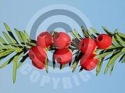 Taxus baccata (Gemeine Eibe)