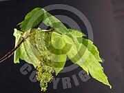 Acer pseudoplatanus (Berg Ahorn)