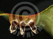 Gymnosporangium fuscum (Birnengitterrost)