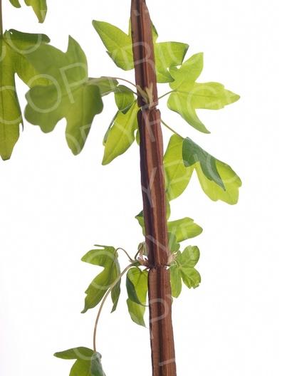Acer campestre (Feld Ahorn)